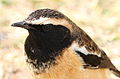 Buff-streaked Chat, Buff-streaked Bushchat, Campicoloides bifasciatus (male) at Marakele National Park, South Africa (14042838976).jpg