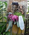 Bulbophyllum fletcherianum, whole plant, Pengo.jpg