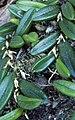 Bulbophyllum shepherdii.jpg