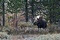 Bull Moose (50436708093).jpg