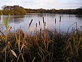 Bullrushes at Eccleston Mere - geograph.org.uk - 449916.jpg