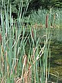 Bulrushes on the edge of a small lake - geograph.org.uk - 550051.jpg