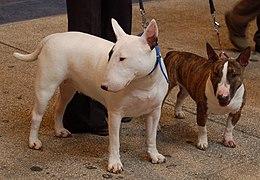 Bull Terrier Wikipedia
