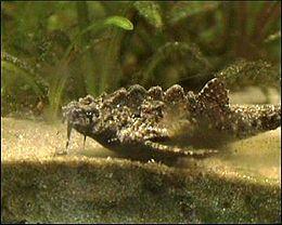 Bunocephalichthys verrucosus verrucosus seitenansicht
