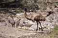 Bunyeroo Gorge Emu and Chicks.jpg