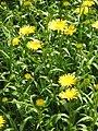 Buphthalmum salicifolium02.jpg