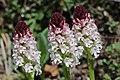 Burnt-tip Orchid - Neotinea ustulata (17288923086).jpg