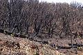 Burnt Forest (8534054283).jpg