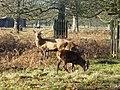 Bushy Park Deer - geograph.org.uk - 1613648.jpg