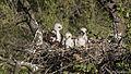 Buteo polyosoma nestlings.jpg