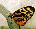 Butterfly-red-orange-ecuador-snd.JPG