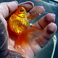 Butterfly Goldfish 03.JPG