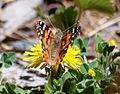 Butterfly Mammoth Lakes (20140420-0066).JPG