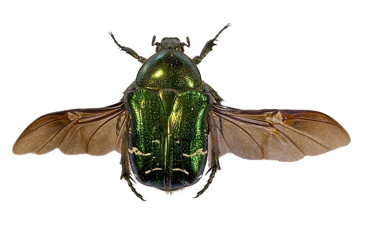 Scarab e wiktionnaire - Insecte vert volant ...