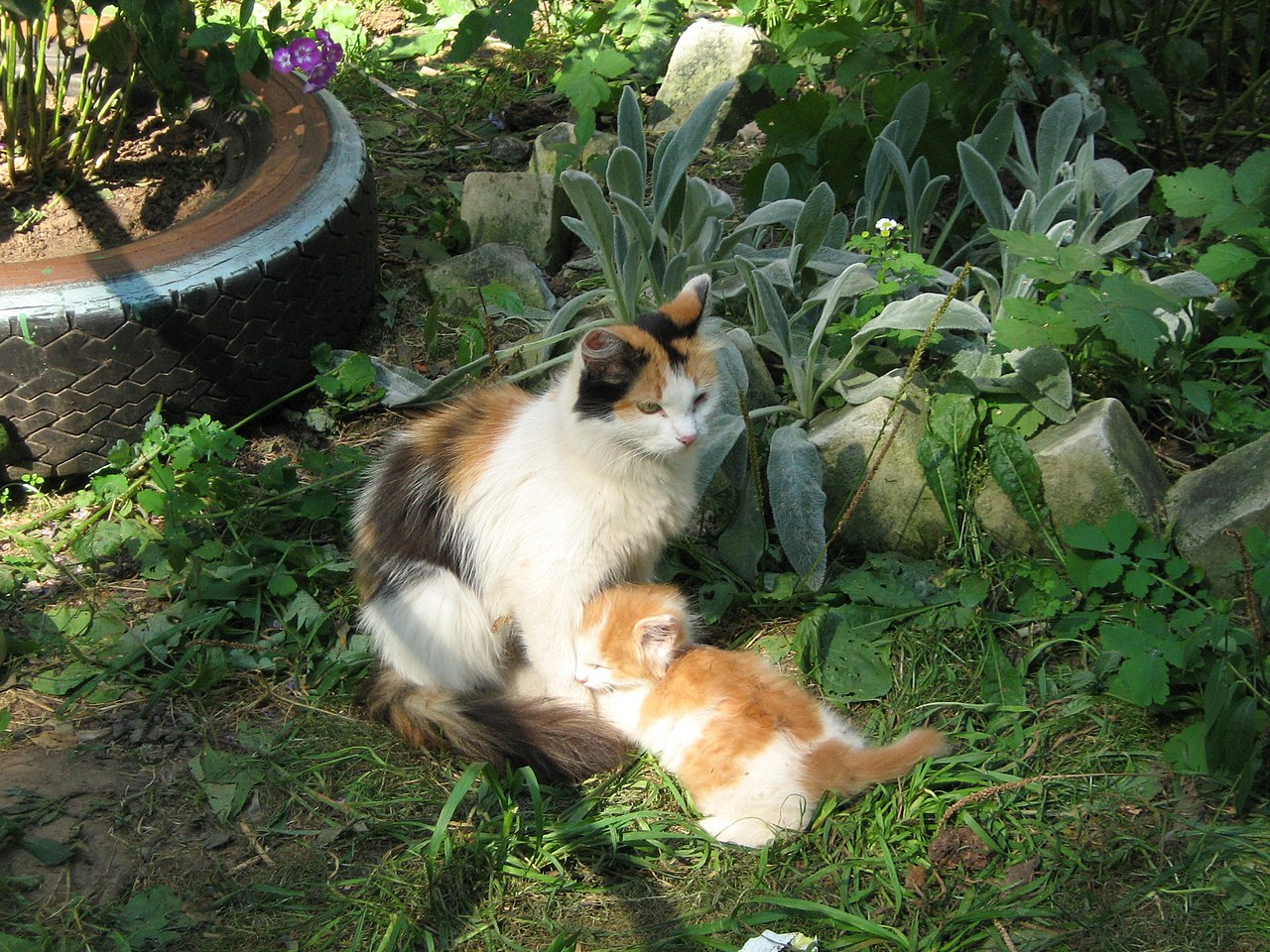 Blue Eyed Calico Cat Fats