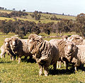 CSIRO ScienceImage 7305 A group of transgenic sheep.jpg