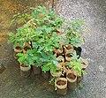 Caesalpinia sappan (sappanwood).jpg