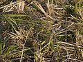 Caesulia axillaris (6361539753).jpg