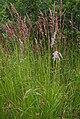 CalamagrostisCanescens.jpg