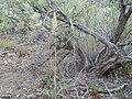Calamagrostis montanensis (6170774580).jpg