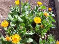 Calendula officinalis Habitus 2010 4 01 DehesaBoyalPuertollano.jpg