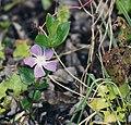 California Arena Point flower.jpg