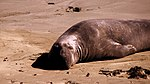 California Elephant Seals (4889357155).jpg