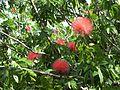 Calliandra haematocephala (7374341612).jpg