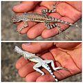 Callisaurus draconoides 001.JPG