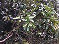 Calophyllum inophyllum fruits Beqa Fiji.jpg