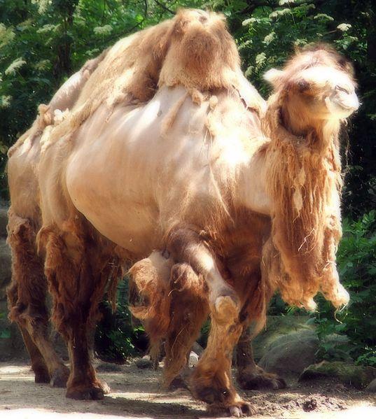 File:Camels in Cleveland Metroparks Zoo, June 14, 2007.jpg