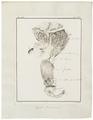 Camelus dromedarius - ingewanden - 1700-1880 - Print - Iconographia Zoologica - Special Collections University of Amsterdam - UBA01 IZ21600007.tif