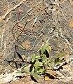Camissonia chamaenerioides 1.jpg