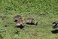 Canada goose - Branta canadensis (28107222918).jpg