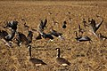 Canada goose - Branta canadensis and Greylag Goose - Anser anser (30998391988).jpg
