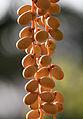 Canary Island date palm - Phoenix canariensis 05.jpg