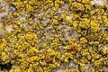 Candelariella.coralliza.-.lindsey.jpg