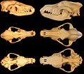 Canis latrans & Canis lupus skulls.jpg
