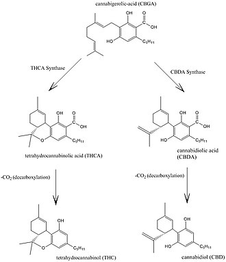 Cannabidiol - Cannabidiol and THC biosynthesis