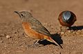 Cape Rock Thrush, Monticola rupestris, at Walter Sisulu National Botanical Garden, Gauteng, South Africa (29301739372).jpg
