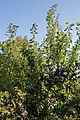 Capel Manor Gardens Enfield London England - Plum tree.jpg