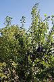 Capel Manor Gardens Enfield London England - Plum tree.jpg