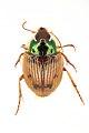 Carabidae, Cyclosomus buquetii Dejean, 1831; Mozambique.jpg