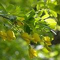 Caragana arborescens (Просветский дендрарий).jpg