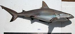 Requin vu de profil, hors de l'eau et posé sur un fond blanc.
