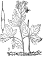 Cardamine maxima BB-1913.png