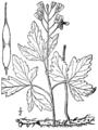 Cardamine maxima BB-1913.png