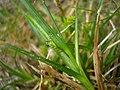 Carex demissa inflorescens (25).jpg