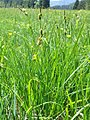 Carex hostiana plant (1).jpg