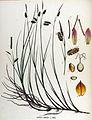 Carex limosa — Flora Batava — Volume v17.jpg